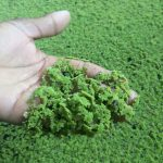 Azolla revolutionizing cattle feed in desert